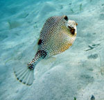 St. John Snorkel: Trunk Fish