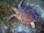 St. John Seagrass Snorkel: Sea Turtle