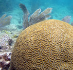 Brain Coral Waterlemon Cay