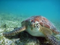 Green Turtle at Maho Bay