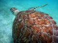 Green Turtle foraging at Maho Bay