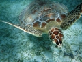 SeaTurtle at Maho Bay