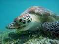Turtle Maho Bay St John US Virgin islands