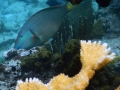 Parrotfish and Elkhorn