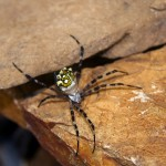 Virgin islands Insects: spider