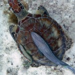 turtle and remoras