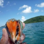 Baby Conch at Maho Bay