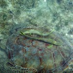 St. John Sea Creatures: Turtle