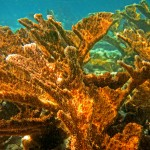 st john virgin islands marine life: elkhorn coral