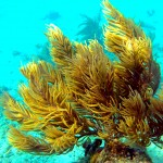 orange spiny sea rod