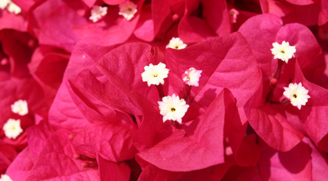 Bougainvilleas and Aphids