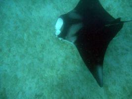 Virgin Islands Marine Life - manta