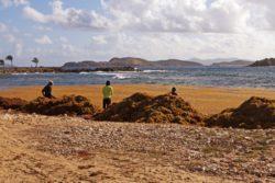 sargassum weed sapphire beach