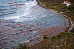 sargassum hart bay