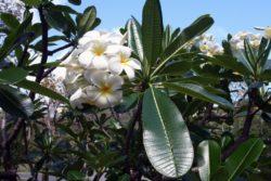 exotic frangipani