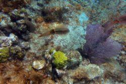 Caribbean Reef Squid, Sepioteuthis sepiodea 1