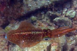 Caribbean Reef Squid, Sepioteuthis sepiodea 2