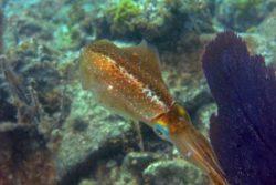 Caribbean Reef Squid, Sepioteuthis sepiodea 3