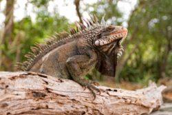 iguana driftwood