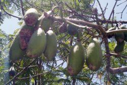 kapok fruit