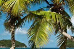 Maho bay palm
