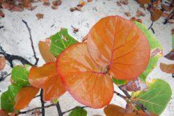 new sea grape leaf