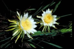 night blooming cerius flower