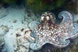 octopus kenanita