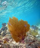 orange sea fan