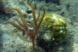 Caribbean Reef Squid, Sepioteuthis sepiodea 5