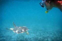 Ryder turtle Maho bay