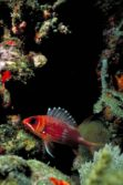 squirrelfish 1