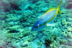 yellowtail snapper 2