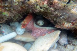 Alexandra caribbean reef octopus