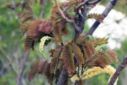 amarat flower forming