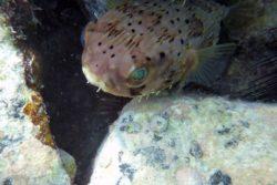 baloonfish