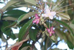 black caper flower