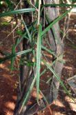 Black Caper trunk juvenile leaves