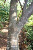 Black Caper trunk