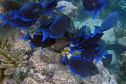 Blue Tang St. John