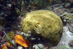 brain coral 1