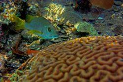 brain coral snapper