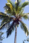 caneel bay palm