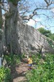 Ceiba Tree