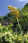 century plant threadneedle point