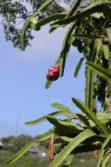 cerius fruit on tree