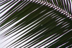 coco palm frond