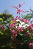 coral vine flowers