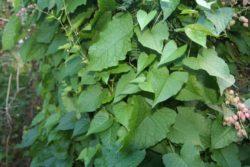 coral vine leaves