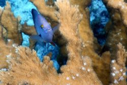 damselfish face